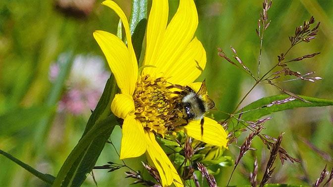 Yellowstone Day 2 Bumble Bee
