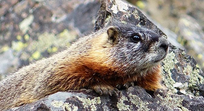 Yellowstone Day 2 Marmot