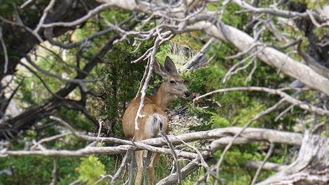 Yellowstone Day 2 Deer at Mammoth