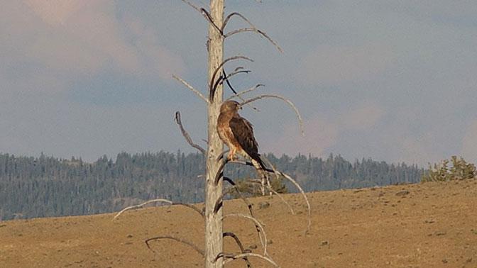 Yellowstone Day 5 Godlen Eagle