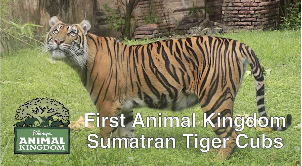 First Animal Kingdom Sumatran Tiger Cubs