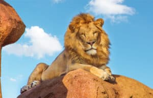 Animal Kingdom: See the Lion Roar on Kilimanjaro Safari!