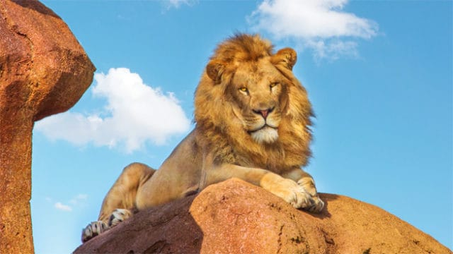 Animal Kingdom: See the Lion Roar on Kilimanjaro Safari!