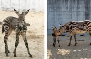 Cuteness Alert: Animal Kingdom Welcomes Baby Zebra