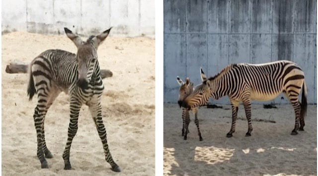Cuteness Alert: Animal Kingdom Welcomes Baby Zebra