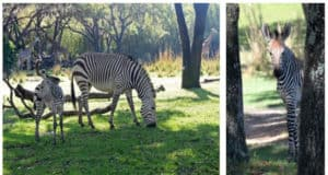 Animal Kingdom's Baby Zebra is Introduced to the Savanna and Has a Name!