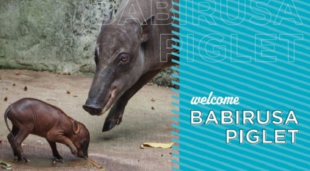Disney Welcomes a New Baby Babirusa at Animal Kingdom