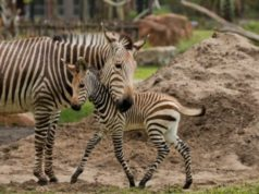 New Zebra Foal at Disney's Animal Kingdom Lodge
