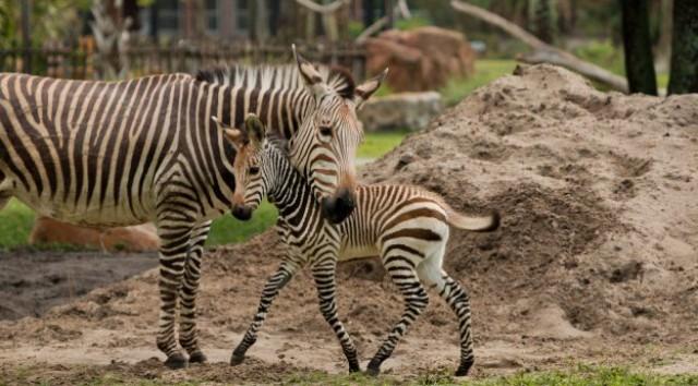 New Zebra Foal at Disney's Animal Kingdom Lodge