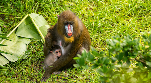 Cuteness Overload: Baby Mandrill Born at Disney's Animal Kingdom!