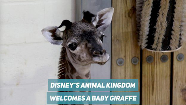 Disney's Animal Kingdom Welcomes New Baby Giraffe