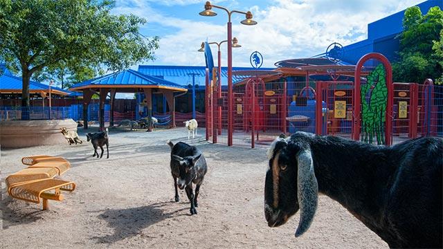 Animal Kingdom's animal petting zone to re-open soon
