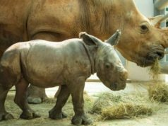 Disney has Dropped a New Baby Rhino Update