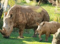 Disney's New Rhino Calf Makes his Debut on Kilimanjaro Safari