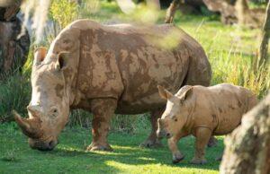 Disney's New Rhino Calf Makes his Debut on Kilimanjaro Safari