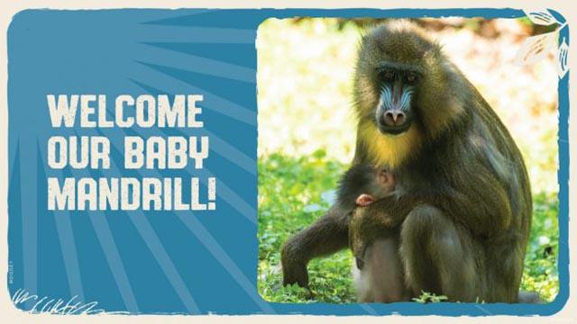 Disney's Animal Kingdom Welcomes New Baby Mandrill