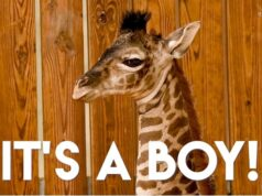 New Baby Boy Giraffe is Born at Disney's Animal Kingdom