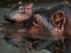 Disney Reveals the Name of its New Baby Hippo
