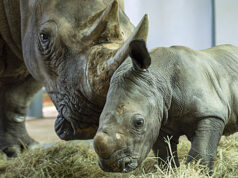 Disney Shares New Video and Details of the Adorable Newborn White Rhino