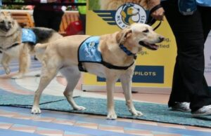 Several United States airports once again offer therapy dogs